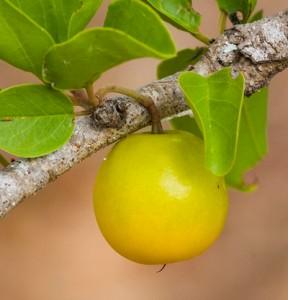 ximenia ripe fruit