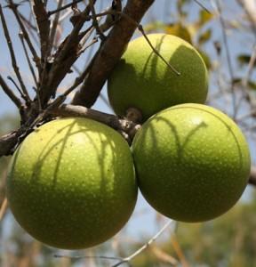 ximenia green fruit