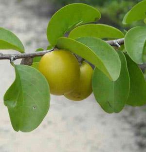 ximenia fruit