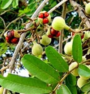 ximenia fruit ripe